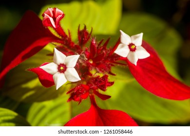 Detail of Mussaenda erythrophylla flower, commonly called Ashanti blood, tropical dogwood and red flag bush, Kenya, East Africa