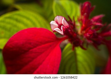 Detail of Mussaenda erythrophylla flower opening, commonly called Ashanti blood, tropical dogwood and red flag bush, Kenya, East Africa