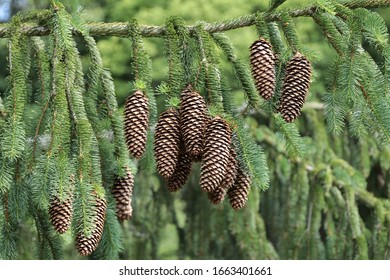 Detail od the spruce cones - pine cones