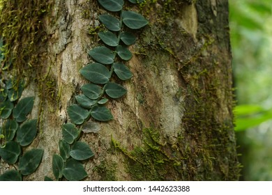 Detail of: Large-leaved creeper, rich green tendril in the australian rainforest of the national and world heritage park of mossman gorge in queensland.