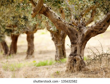 detail of  the old olive tree