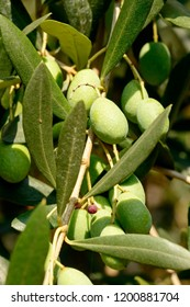 detail of olives on tree, shot in bright fall light near Arco, Trento, Italy