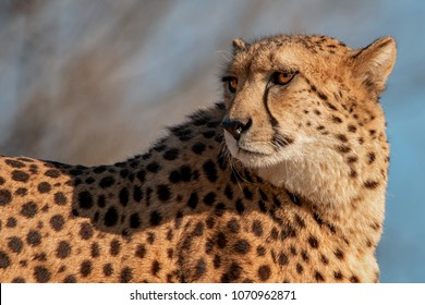 Detail on cheetah which looks for his spoil