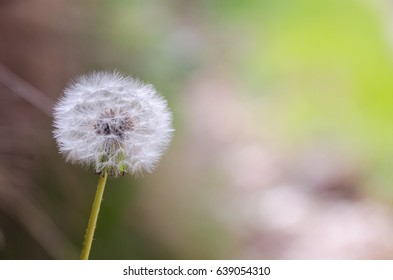 detail on dandelion seeds on spring. blurred background. Blow it and your wishes will come true