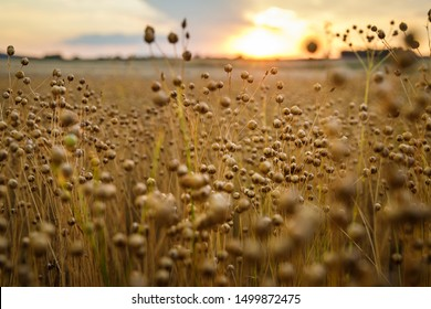 Detail on flax plants (Linum usitatissimum) on field during sunset in Austria. Shallow depth of field.