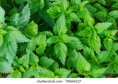 Detail on nettle. Urtica dioica. Herbal medicine