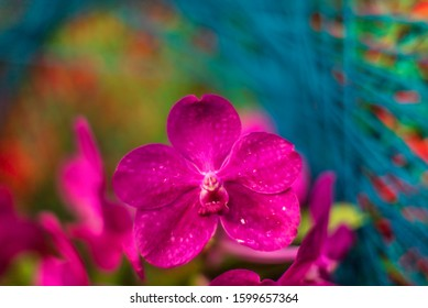 Detail on a pink tropical blooming orchid plant in spring in a tropical glasshouse. Orchidaceae in bloom.