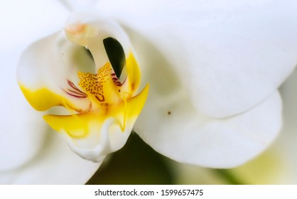 Detail on a white tropical blooming orchid plant in spring in a tropical glasshouse. Orchidaceae in bloom.