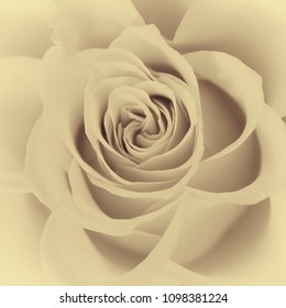 Detail of an open rose blossom in sepia color.