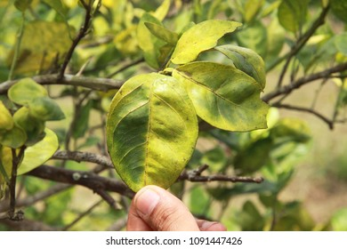 Detail of an orange citrus trees orchard showing blotchy mottle in an asymmetrical yellowing pattern heavily  infected with huanglongbing HLB yellow dragon citrus greening plague deadly disease