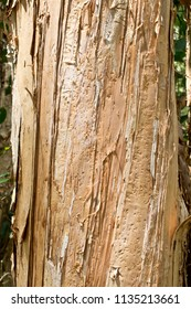 Detail of  paperbark tree in the wilderness. Australia.