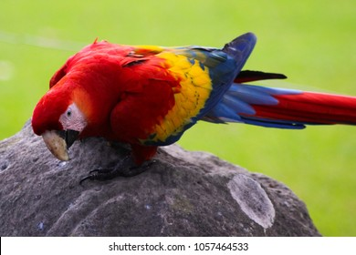 Detail of a Parrot, lat. Ara macao, Scarlet macaw