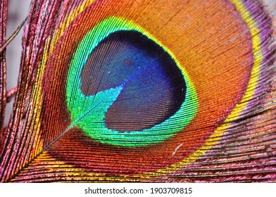 Detail of a peacock feather, exalting the vibrant color