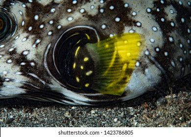 Detail of the pectoral fin of a Stars and Stripes Pufferfish Aro