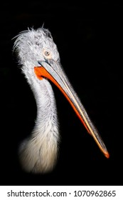 Detail of pelican head on black background
