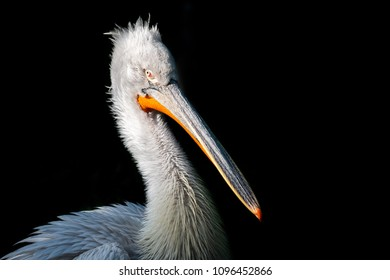 Detail of pelican on black background