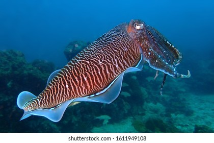 Detail of pharaoh cuttlefish on coral reef in Andaman sea, Thailand. Common cuttlefish isolated.  Colorful luminuous cuttlefish skirt. Underwater photography. Scuba diving in Thailand.