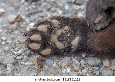 Detail picture of foot/paw of wild animal. The beech marten (Martes foina), also known as the stone marten, house marten or white breasted marten.