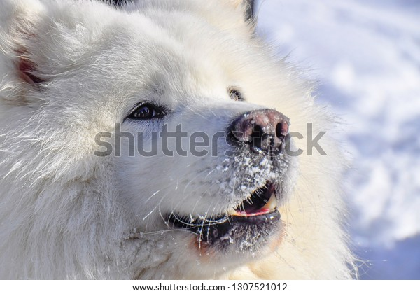 Detail picture of samoyed head. The Samoyed is a breed of large herding dog, from the spitz group. It takes its name from the Samoyedic peoples of Siberia. Winter freezing weather.
