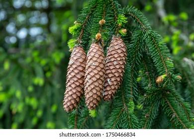 Einzelheiten der Nadelhölzer auf einem Baum