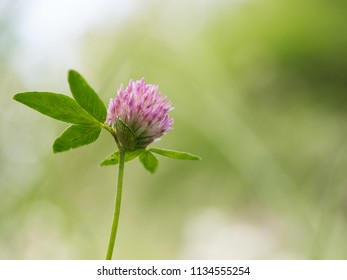 Detail of a pink blossom of a clover growing on a meadow