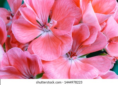 Detail of pink geranium flowers. Geranium
