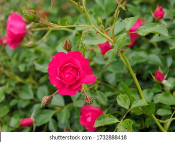 Detail of a pink rose in a rosebush with blurred background