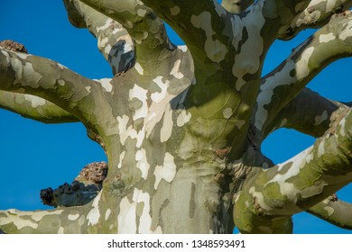 Detail of a plane tree, sycamore tree
