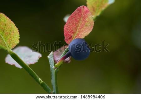 detail-plant-vaccinium-myrtillus-growing