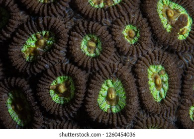 Detail of the polyps of a coral colony growing on a coral reef in Raja Ampat, Indonesia. This area is known for its amazing marine biodiversity and is a popular destination for scuba diving.