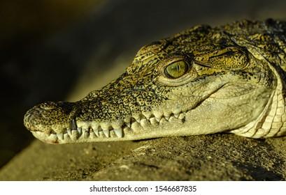 detail portrait of crocodile in zoo