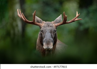 Detail portrait of elk or Moose, Alces alces in the dark forest during rainy day. Beautiful animal in the nature habitat. Wildlife scene from Sweden.