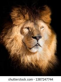 Detail portrait lion in black. Poster lion in high quality. Popular a endangered animal.