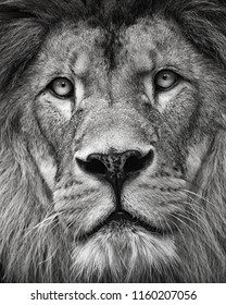 Detail portrait lion in black and white colour. Close-up lion. Photo of the animal world.