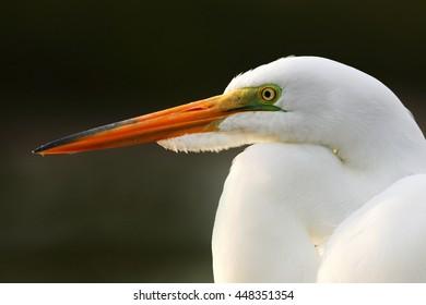 Detail portrait of water bird. White heron, Great Egret, Egretta alba, by the beach in Florida, USA. Water bird with orange bill in the nature habitat.