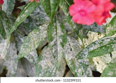 Detail of powdery mildew, plant disease