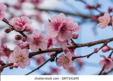 Detail of prunus persica pink flowers blossom in spring