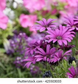 Detail of purple daisies in a garden - Shutterstock ID 425503033