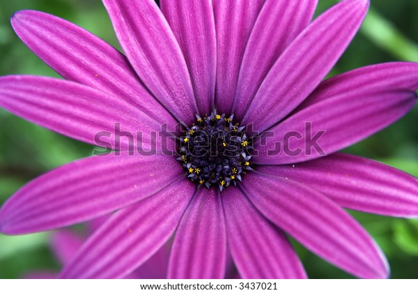 Detail of a purple flower on Madeira Island