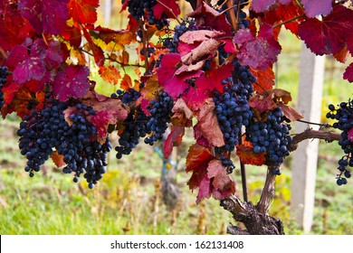 Detail of purple grapes in wineyard with red leaves