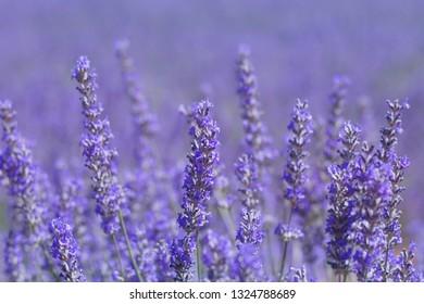 Detail of purple lavender flowers