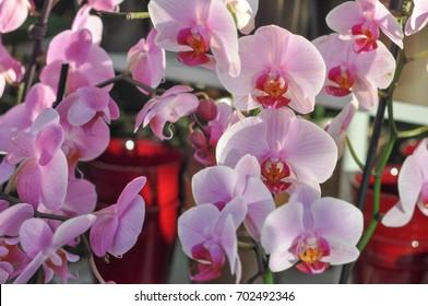 detail of purple pink orchid (Orchidaceae) flower
