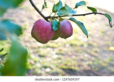 Detail of red apples with drops of water on the tree.