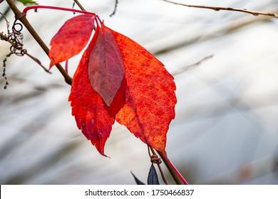 Einzelheiten des roten Herbsturlaubs