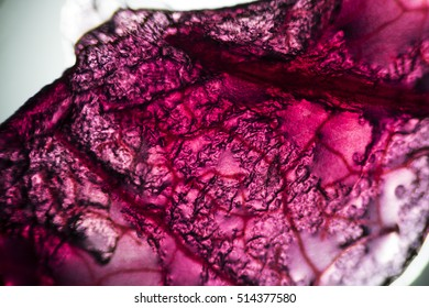 Detail of red cabbage under the microscope.