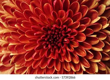 detail of red Chrysanthemum