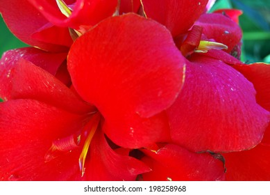 Detail of red petals