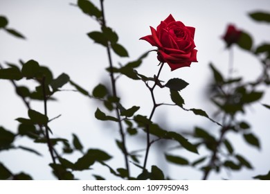 Detail of red single rose blossom at background of dark green foliage and grey sky