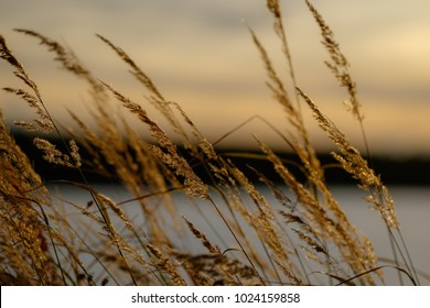 Detail of reed. Grass, sunset, ponf in backroung. Water reed.