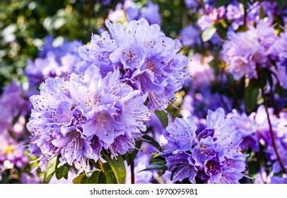 Detail of rhododendron flowers SAPHIRBLAU, violet blue